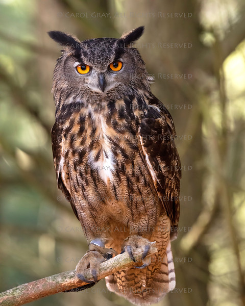 Indonesian Eagle Owl