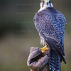 Lanner Falcon CRC