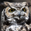 Great Horned Owl Bearizona