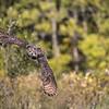 Great Horned Owl Alaska