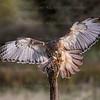 Aplomado Falcon CRC