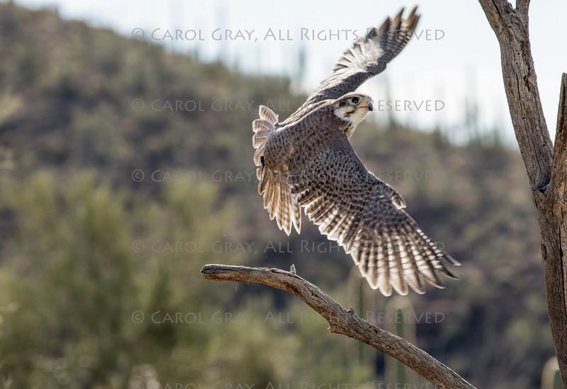 Prairie Falcon ASDM