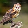 Barn Owl CRC
