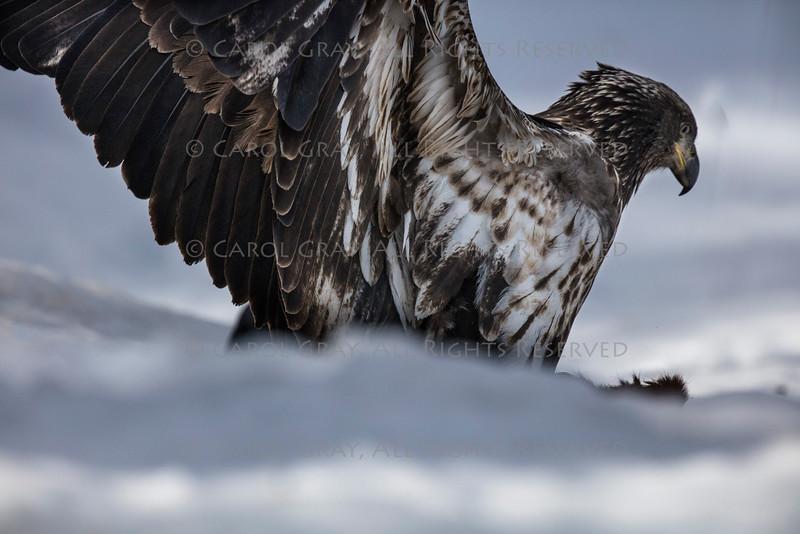 Bald Eagle Bearizona