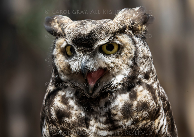 Great Horned Owl Bearizona