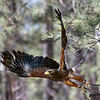 Harris Hawk Bearizona