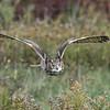 Turkmenian Eagle Owl