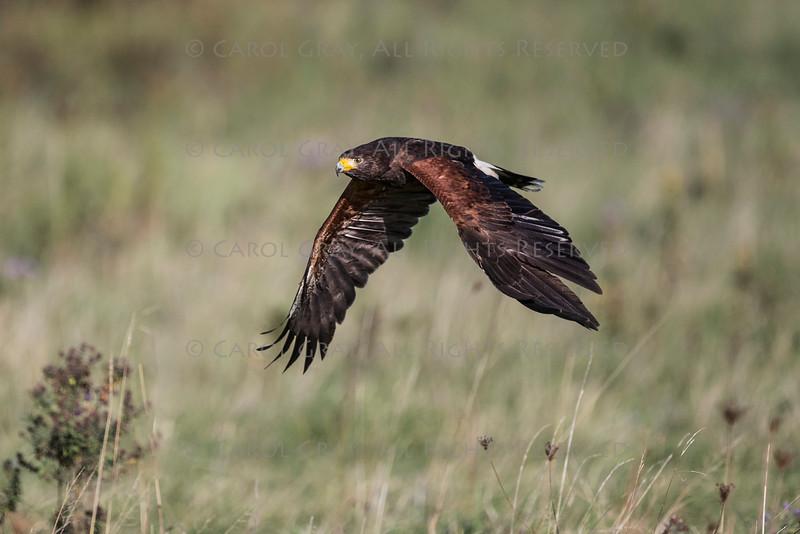 Harris Hawk CRC