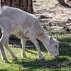 Dall sheep Bearizona