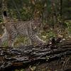 Siberian Lynx Kitten Quill