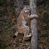 Siberian Lynx Adult Nika
