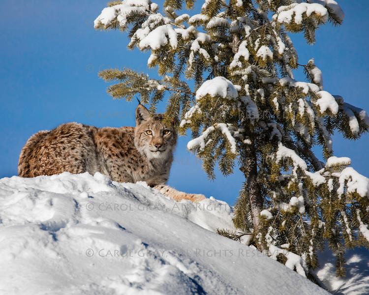 Siberian Lynx Cub Drax