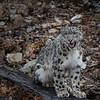 Snow Leopard Mystique Triple D