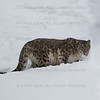Snow Leopard Oriah  at Triple D Game Farm