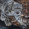 Snow Leopard Mystique Triple D
