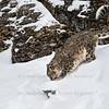 Snow Leopard Oriah  at Triple D Game Farm