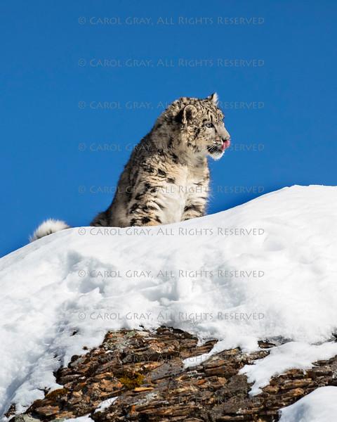 Snow Leopard Cub at Triple D Game Farm