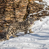 Snow Leopard Cub at Triple D Game Farm