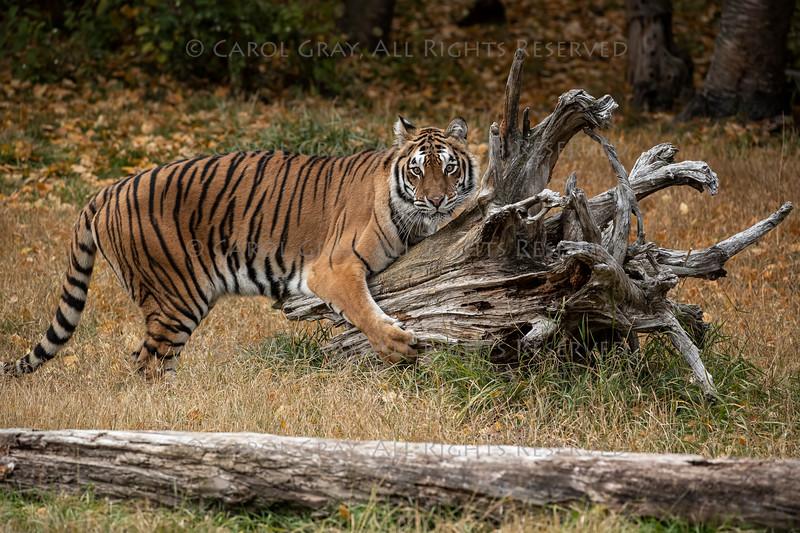 Tiger Hershey Triple D