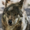 Mexican Wolf