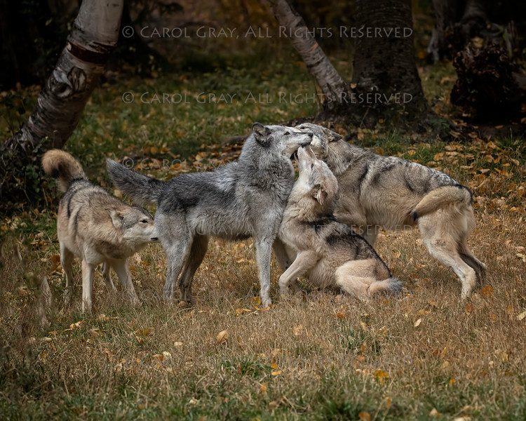 Wolf Pack at Triple D