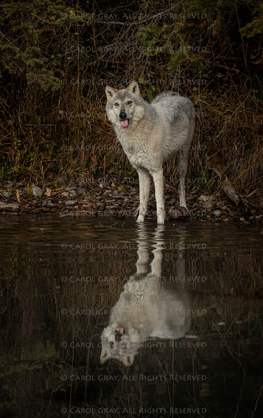 Wolf reflection at the pond Triple D