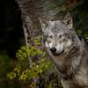 Tundra Wolf Roman Triple D