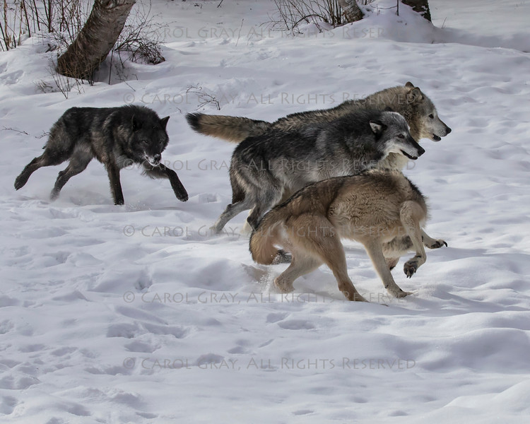 Wolf Pack at Triple D Game Farm