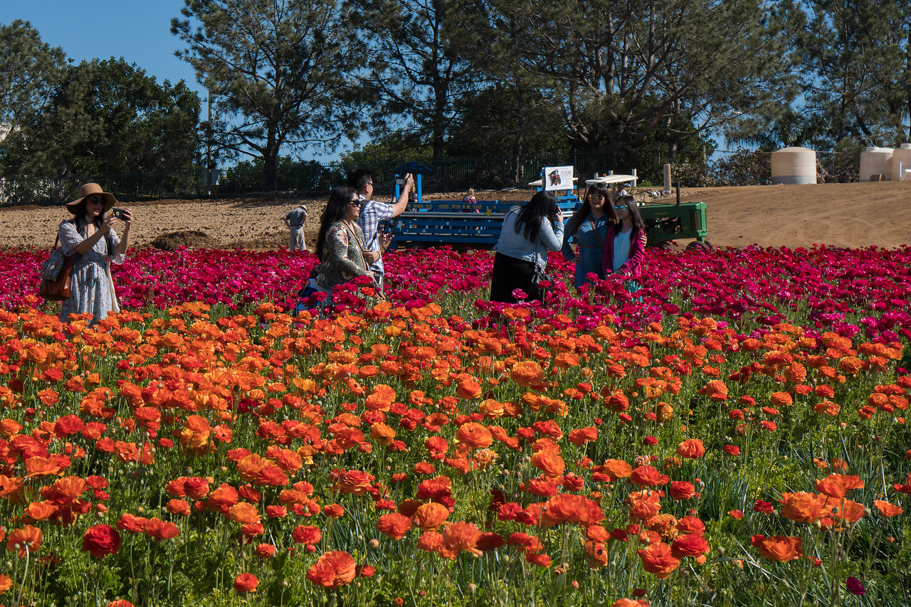 Visitors Enjoying The Beauty Of The Ranunculus Fields