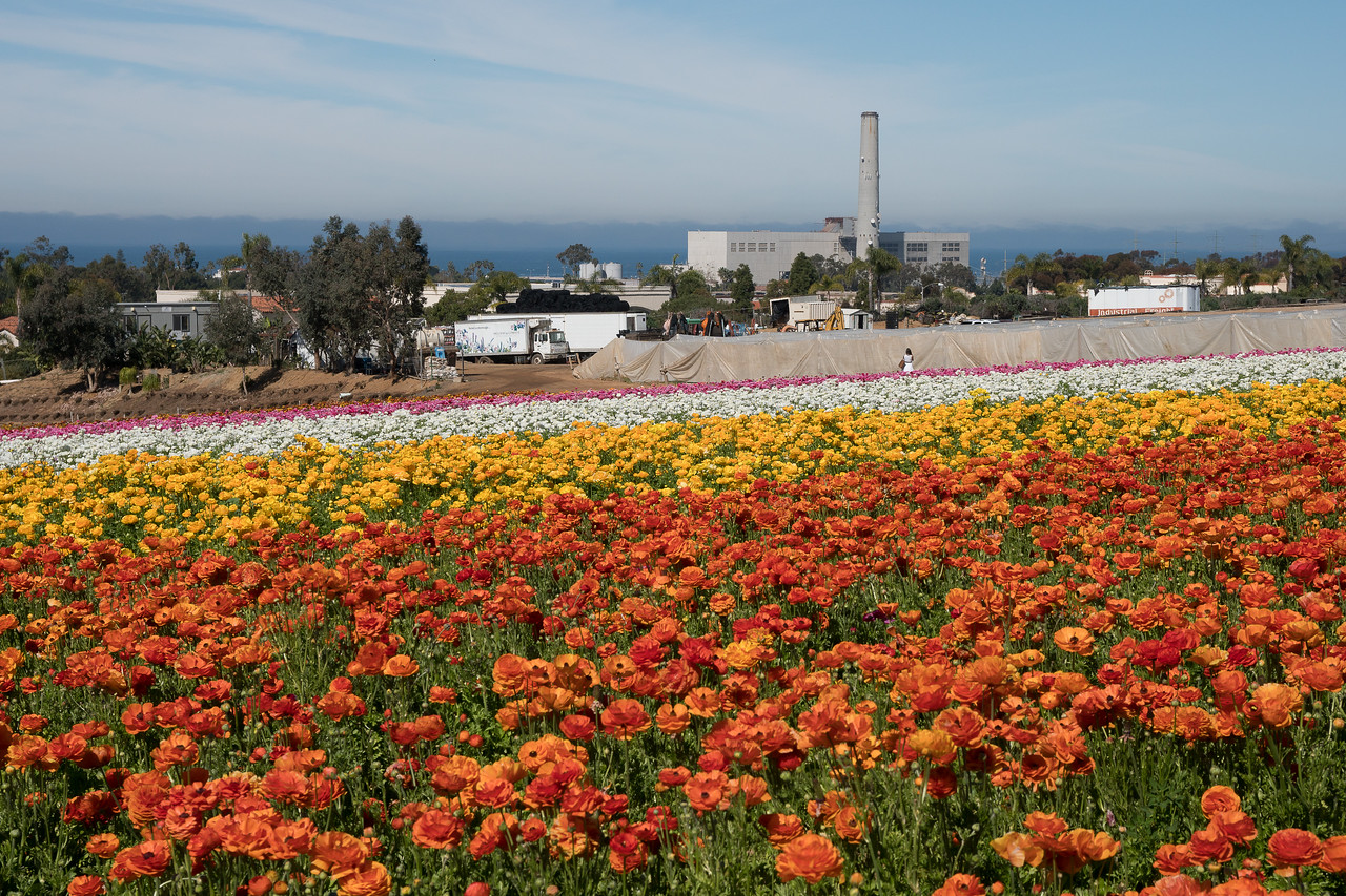Rows of color as ranuculus fill the hillside overlooking the Paciific