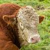 A bull (Hereford)