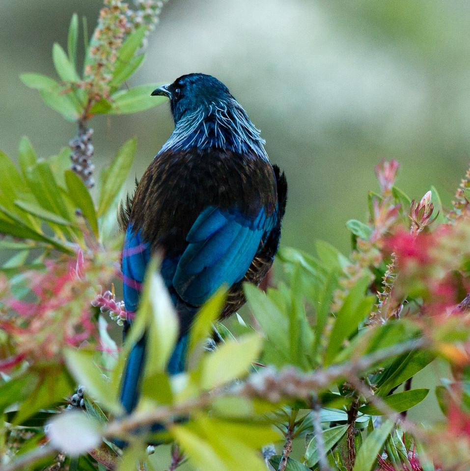 Tui (Prosthermadera novaeseelandiae)