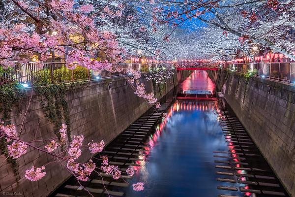 The Beginning of Sakura || El Comienzo del Sakura