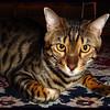 "Moki - ""Bengal"" cat (Moki)."
