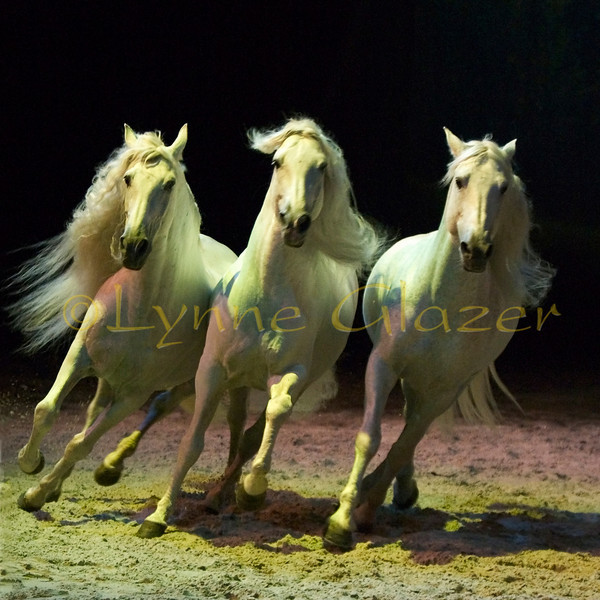 The liberty acts in the production feature a number of the Delgado-Pignon Lusitano stallions; all the Delgado horses are full or half-brothers. Using only hand commands, body language and gentle words Pignon leads the three white liberty stallions, Templado, Fausto and Aétès in fanciful routines that look like play, and they are play. Horses and man chase each other in choreographed figures, the horses completely free of tack, Pignon occasionally holding a delicate strand of mane to subtly hint to a horse to stay close, or a slim wand to indicate direction or movement. <br /> [from left, Templado, Fasto, Aetes]