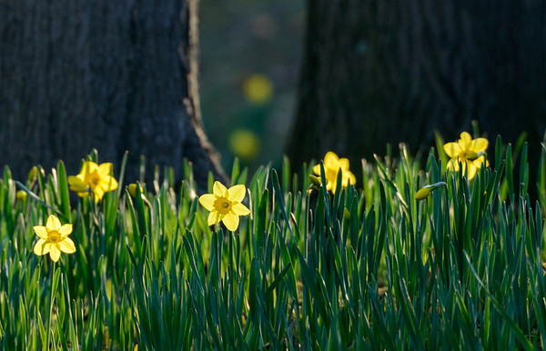 Backlit Daffodils at Lake View Cemetery