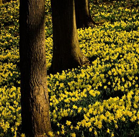 Daffodil Hill2021