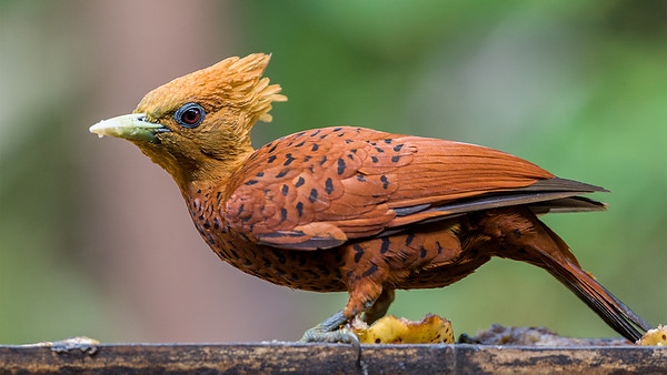 Woodpeckers of Costa Rica