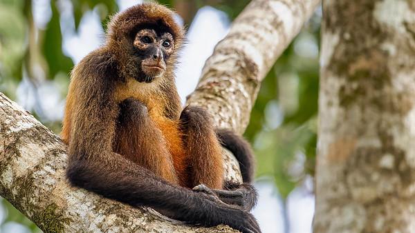 Monkeys of Osa Peninsula