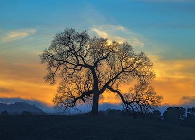 The Lone Oak