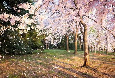 Blossom Shower