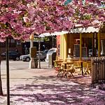 Cherry Blossom in Brooklyn