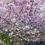 Cherry Blossom in Brooklyn
