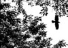 A crow slips through the trees above Plimoth Plantation.<br /> ©Chris Bernstein/CDBphotography