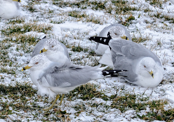 Ring-billed Gulls at Edgewater Park - Cleveland Ohio