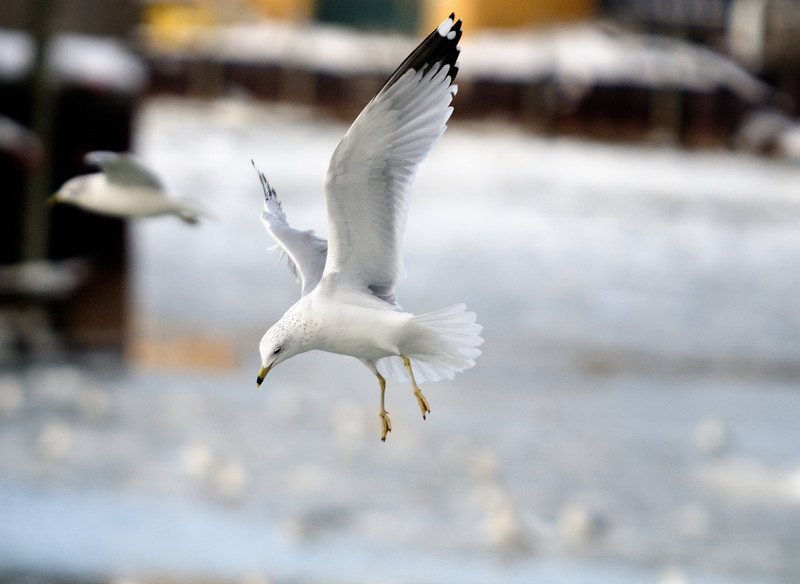 Gull in the Flats, Cleveland