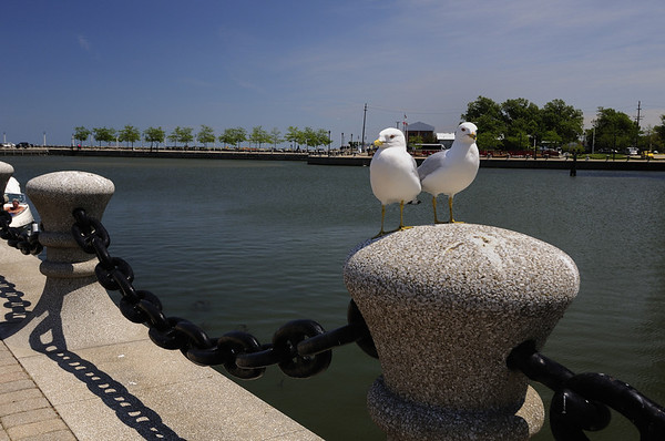 Cleveland's North Coast Harbor - Ring Billed Gulls