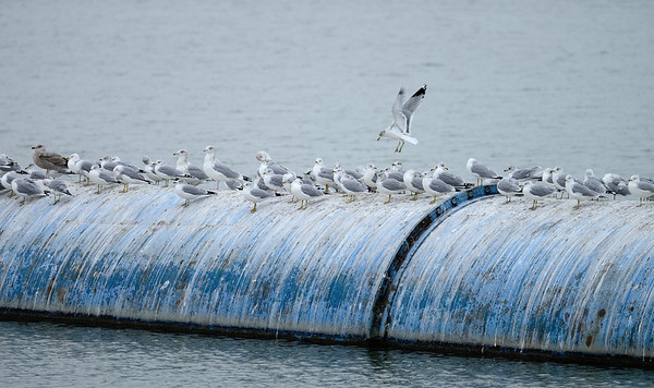 Gulls near Wendy Park