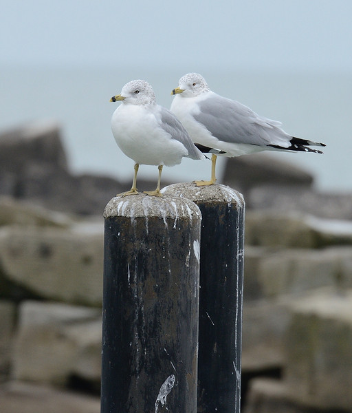 Ring-billed Gulls at the Edgewater Park Marina