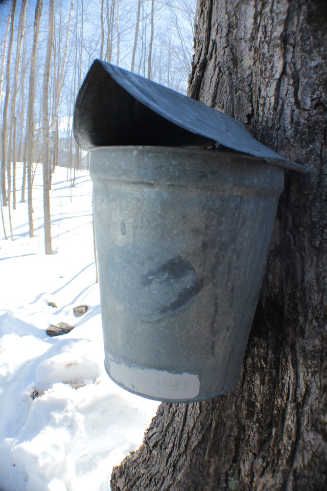 Tapped Maple Tree<br /> IMG_7733
